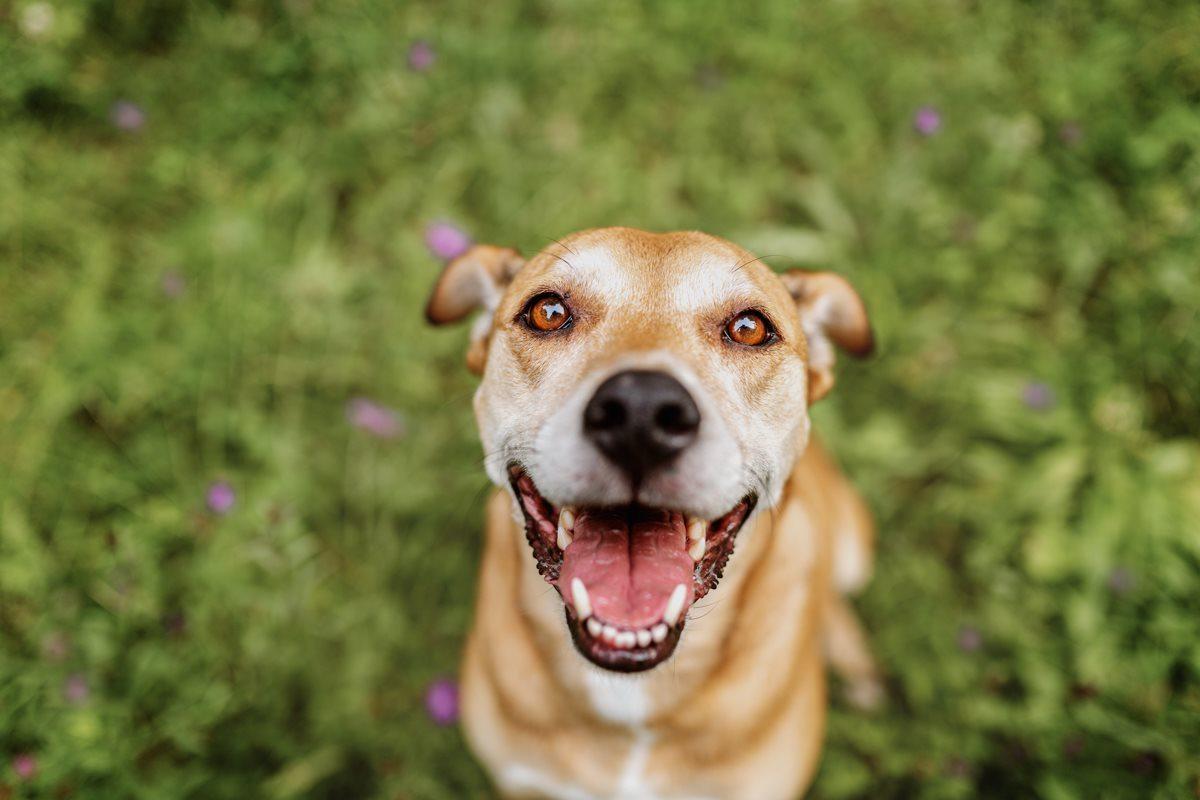 Alice-Boxer-Schäferhund-Mischling-Mix-Würzburg-Hundefotograf-Tierfotografie-Tierschutz-Tierschutzhund (1)