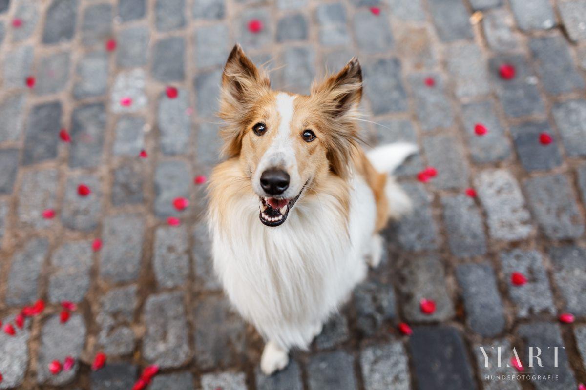Frieda-Collie-Bamberg-Hund-Fotoshooting-Hundefotoshooting-Hundefotograf-Hundeschule-Hundetrainer-Hunde-Trainer-Hundeladen (1)