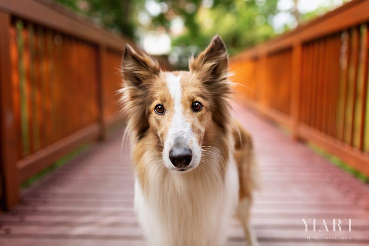 Frieda-Collie-Bamberg-Hund-Fotoshooting-Hundefotoshooting-Hundefotograf-Hundeschule-Hundetrainer-Hunde-Trainer-Hundeladen (10)