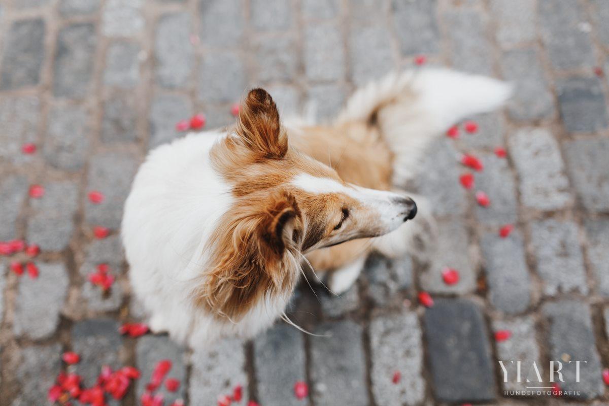 Frieda-Collie-Bamberg-Hund-Fotoshooting-Hundefotoshooting-Hundefotograf-Hundeschule-Hundetrainer-Hunde-Trainer-Hundeladen (2)