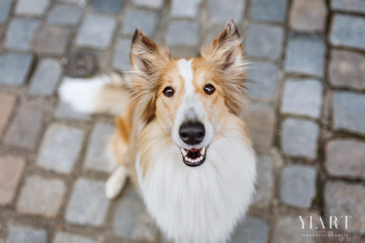 Frieda-Collie-Bamberg-Hund-Fotoshooting-Hundefotoshooting-Hundefotograf-Hundeschule-Hundetrainer-Hunde-Trainer-Hundeladen (3)