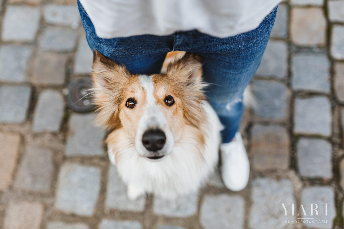 Frieda-Collie-Bamberg-Hund-Fotoshooting-Hundefotoshooting-Hundefotograf-Hundeschule-Hundetrainer-Hunde-Trainer-Hundeladen (4)