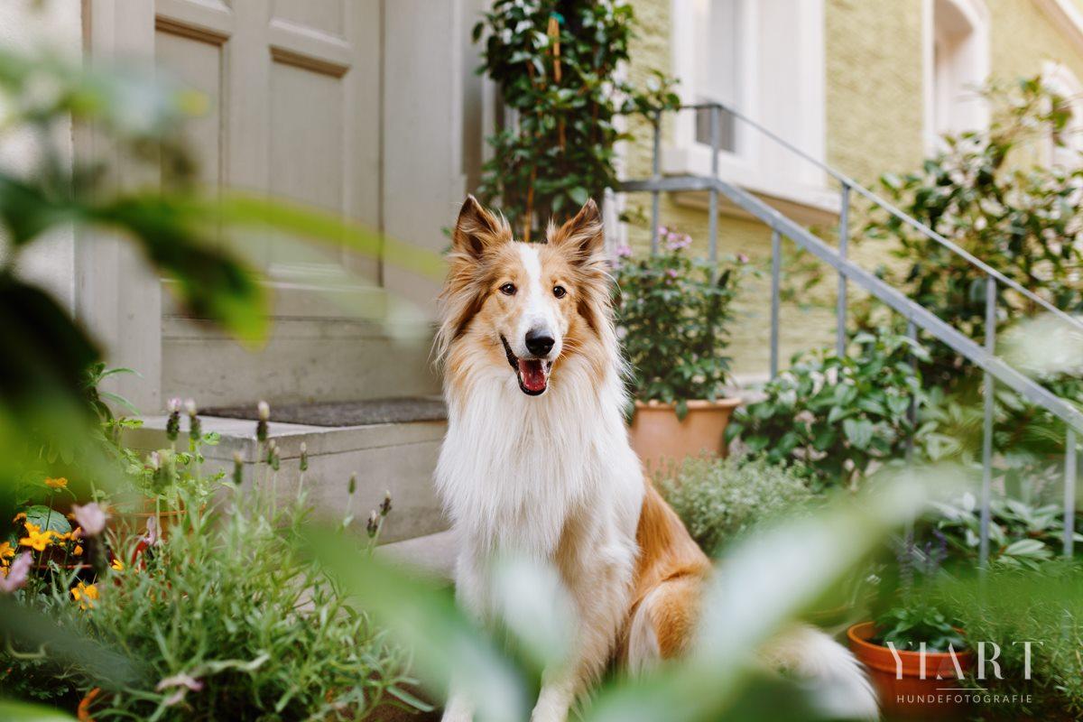 Frieda-Collie-Bamberg-Hund-Fotoshooting-Hundefotoshooting-Hundefotograf-Hundeschule-Hundetrainer-Hunde-Trainer-Hundeladen (5)