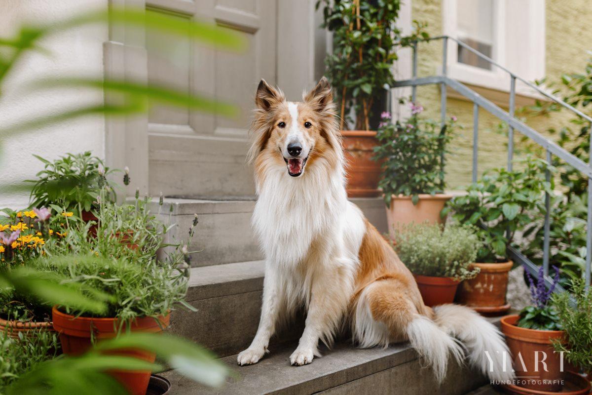 Frieda-Collie-Bamberg-Hund-Fotoshooting-Hundefotoshooting-Hundefotograf-Hundeschule-Hundetrainer-Hunde-Trainer-Hundeladen (6)