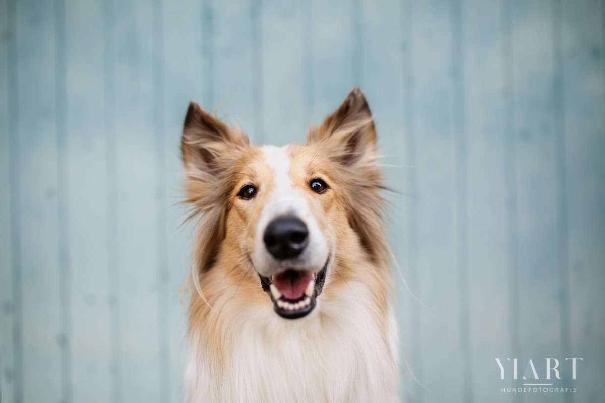 Frieda-Collie-Bamberg-Hund-Fotoshooting-Hundefotoshooting-Hundefotograf-Hundeschule-Hundetrainer-Hunde-Trainer-Hundeladen (7)