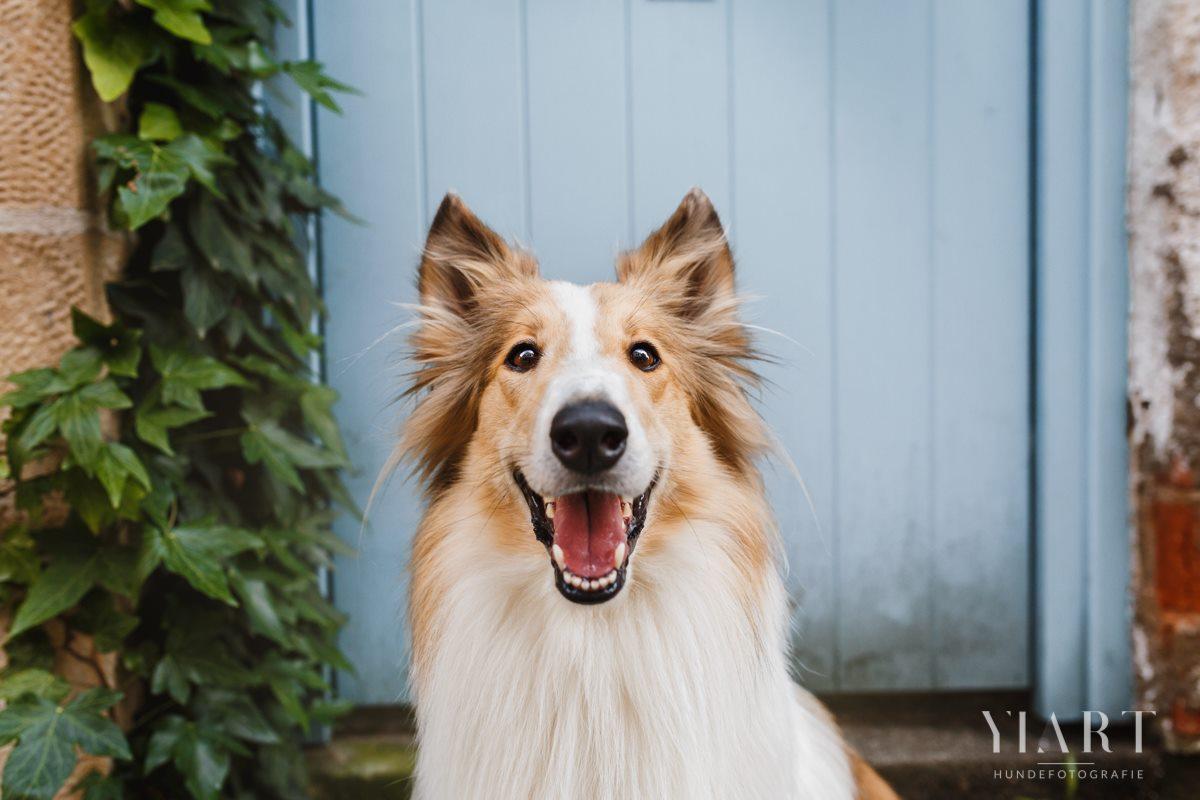 Frieda-Collie-Bamberg-Hund-Fotoshooting-Hundefotoshooting-Hundefotograf-Hundeschule-Hundetrainer-Hunde-Trainer-Hundeladen (8)