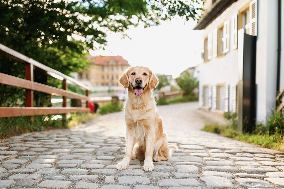 Haustier-Hundefotoshooting-Tierfotograf-Fotograf-Tierfotografie-Hundefotograf-Bamberg-Würzburg-Schweinfurt-Kitzingen-Golden-Retriever