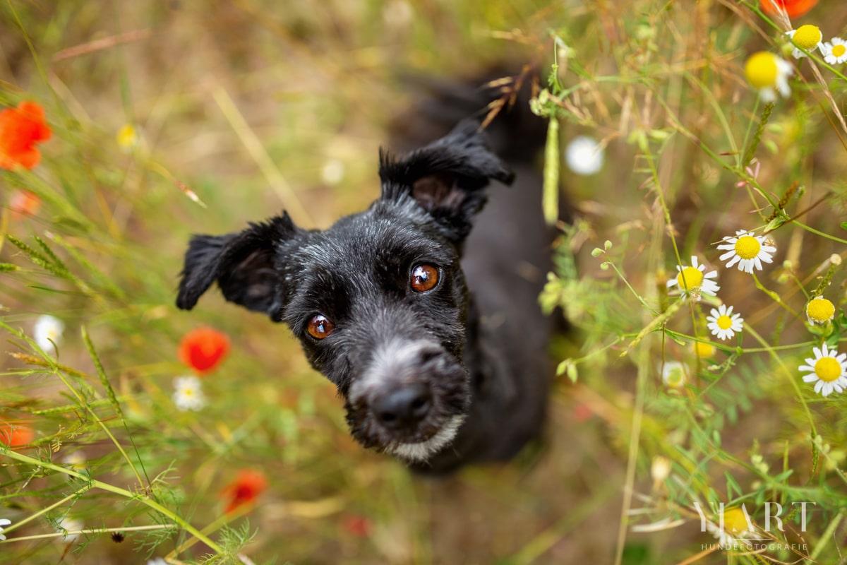 Haustier-Hundefotoshooting-Tierfotograf-Fotograf-Tierfotografie-Hundefotograf-Bamberg-Würzburg-Schweinfurt-Kitzingen-Tierschutzhund-Tierschutz-Hund-Schnauzer-Schnauzermix
