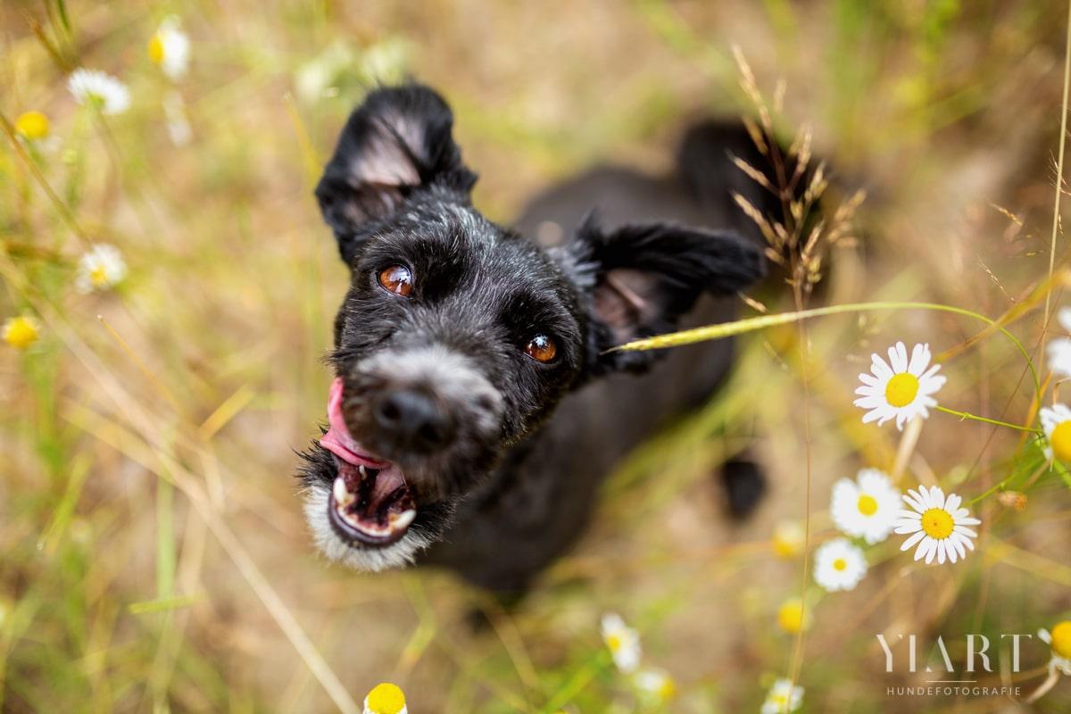Haustier-Hundefotoshooting-Tierfotograf-Fotograf-Tierfotografie-Hundefotograf-Bamberg-Würzburg-Schweinfurt-Kitzingen-Tierschutzhund-Tierschutz-Hund-Schnauzer-Schnauzermix (4)