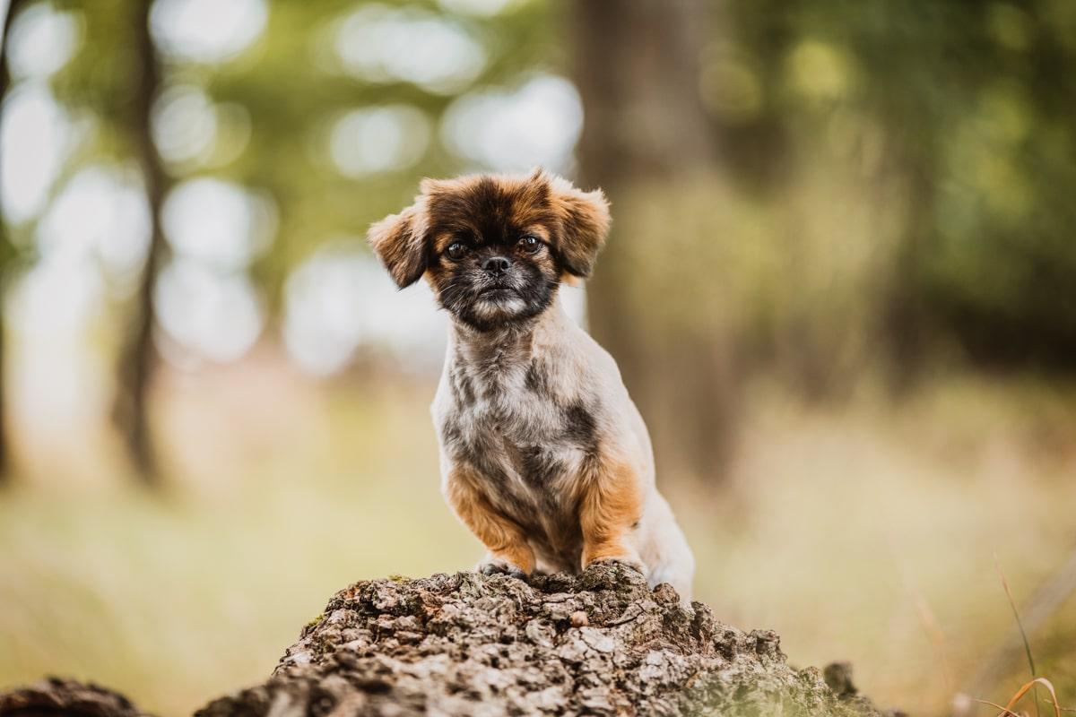 Haustier-Hundefotoshooting-Tierfotograf-Fotograf-Tierfotografie-Hundefotograf-Bamberg-Würzburg-Schweinfurt-Kitzingen-Tierschutzhund-Tierschutz-Hund-mops-malteser-Pekinese