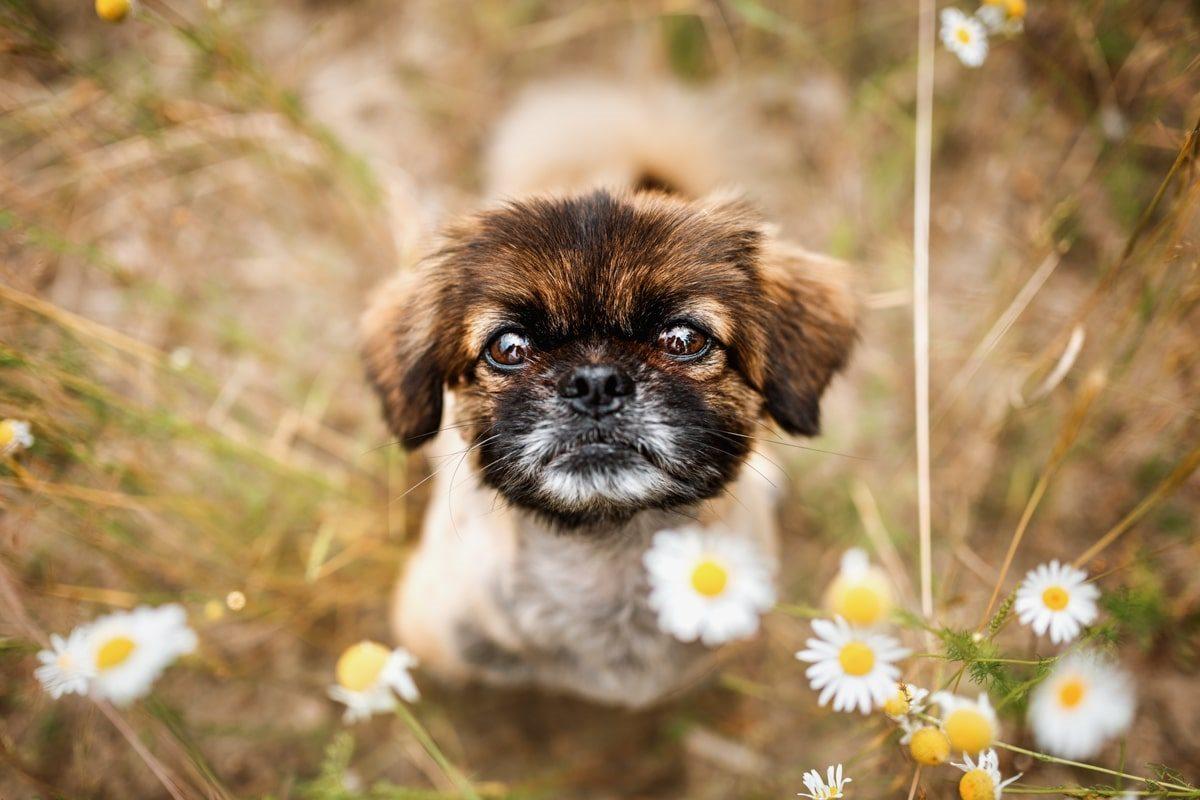 Haustier-Hundefotoshooting-Tierfotograf-Fotograf-Tierfotografie-Hundefotograf-Bamberg-Würzburg-Schweinfurt-Kitzingen-Tierschutzhund-Tierschutz-Hund-mops-malteser