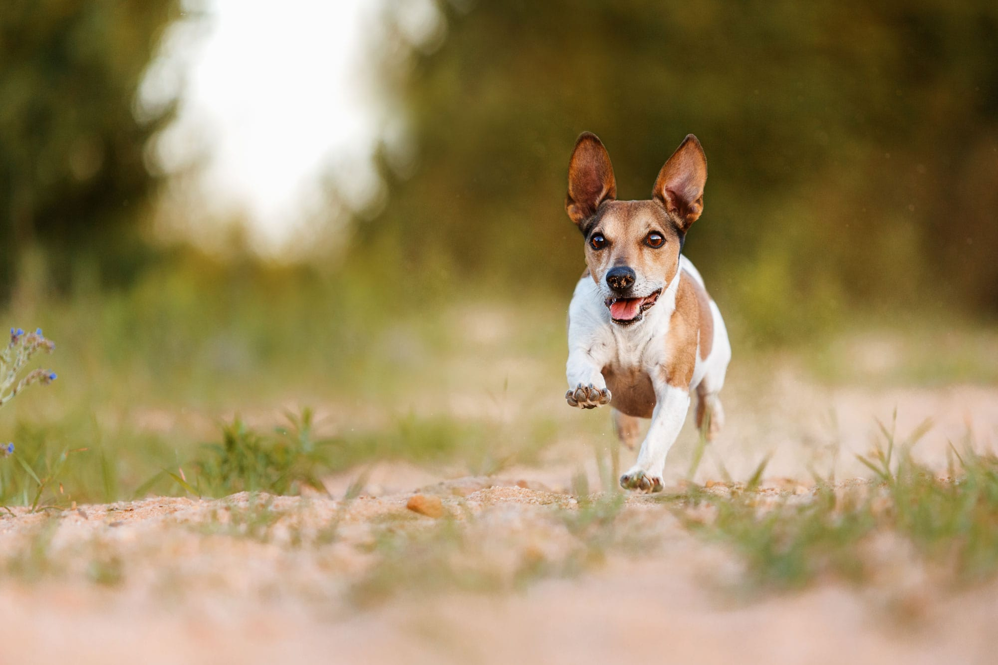 Hunde-Fotoshooting-Bamberg-Strullendorf-Fotografin-Jack Russel Terrier rennt