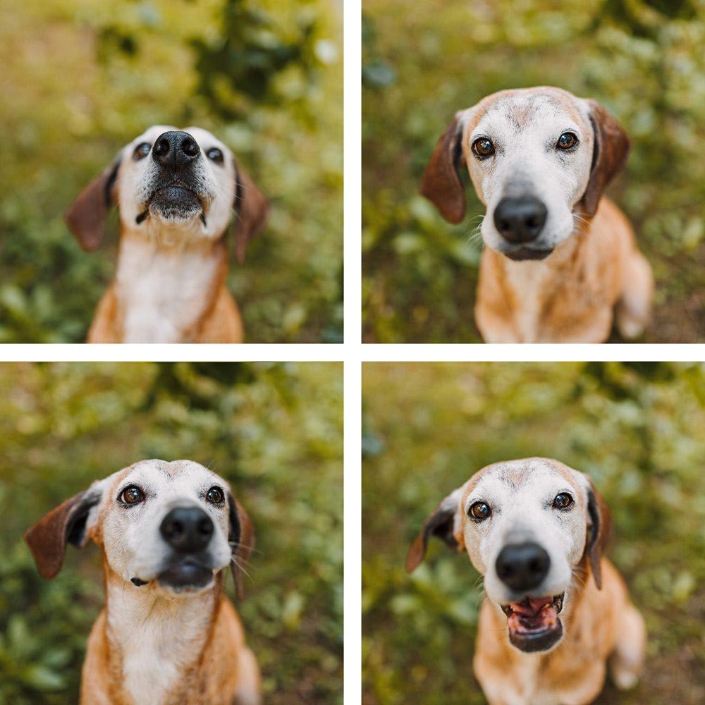 Hunde-Fotoshooting-Mato-Würzburg-Segugio maremmano-(16)
