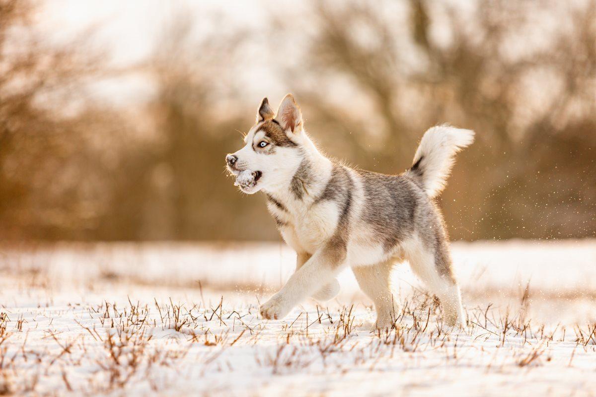 Milo-Husky-Malamute-Würzburg-Bamberg-Hundefotografie-Hundefotograf-Tierfotograf-Welpe-Fotoshooting (3)