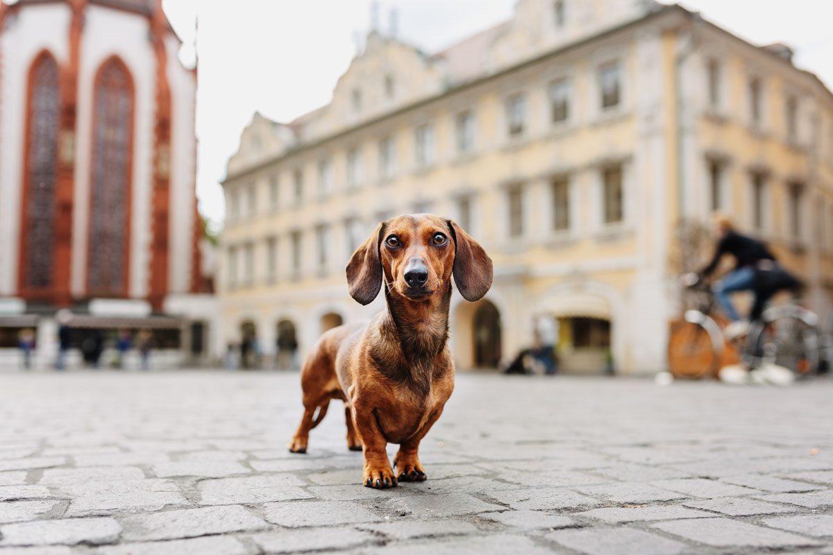 Zwergdackel-Hundefutter-Barf-Tierfotografie-Hunde-Fotograf-Fotografie-Würzburg-Bamberg