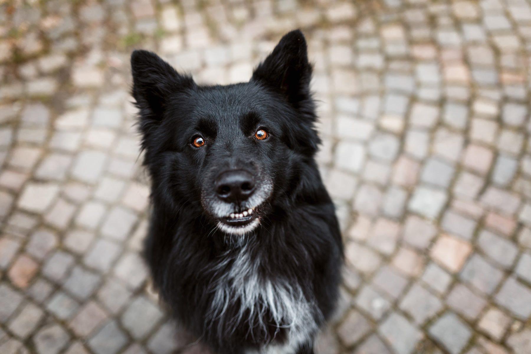 Schäferhund Portrait lachend Würzburg Hundefotograf Tierfotograf Haustierfotografie Fotograf